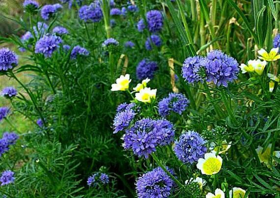 Голубые помпоны в саду