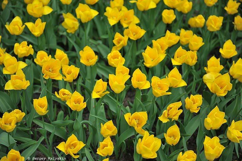 История самого черного тюльпана
