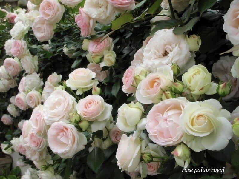 Как можно отличить розы шрабы? 6 характерных признаков
