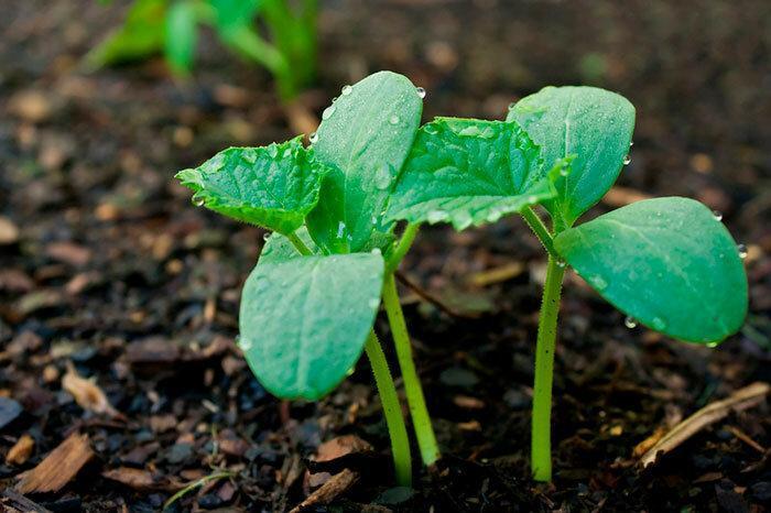 Как сажать огурцы: рассадой или сразу в грунт