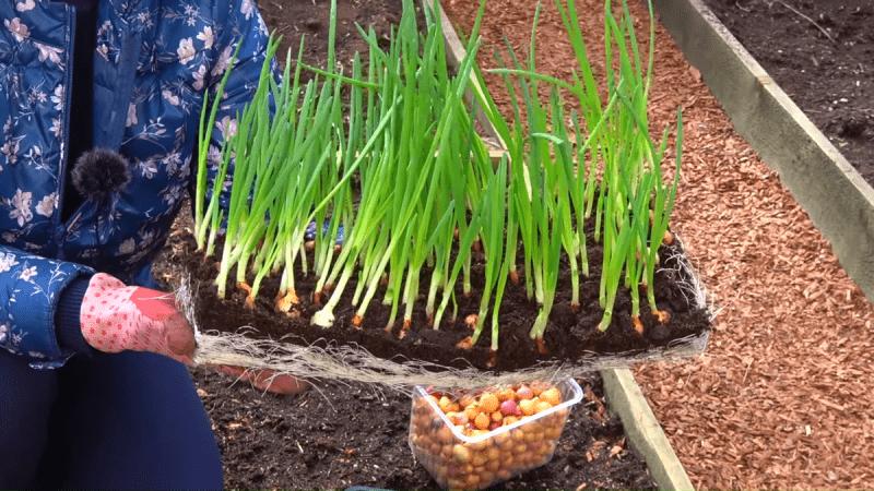 Как вырастить лук за 2 недели? Новый способ посадки 👍