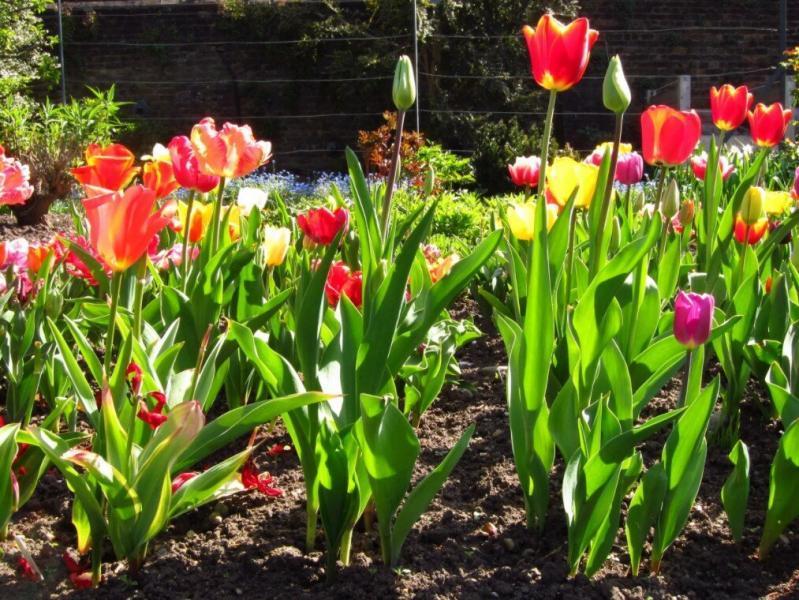Как высадить тюльпаны весной