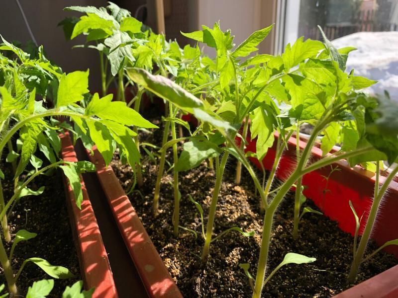 Какие сорта томатов мама посадила в этом году