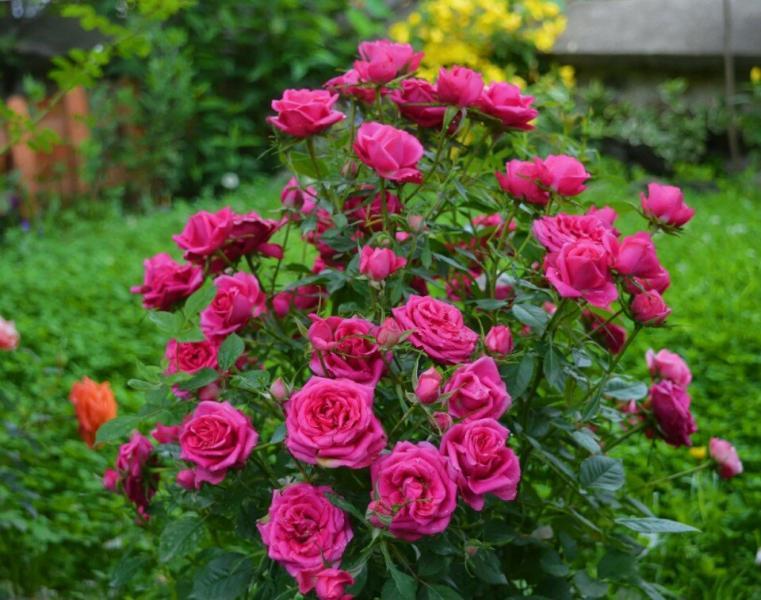 Кажется, роза погибла: что можно сделать?