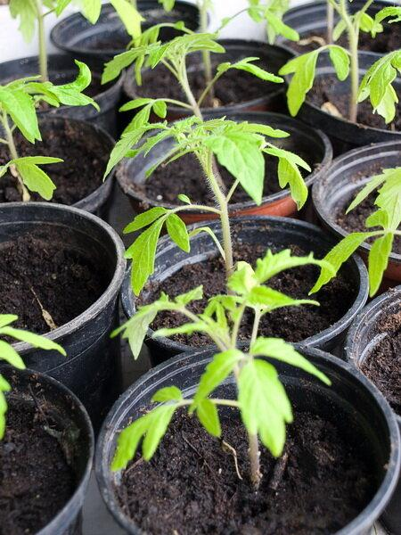 Китайский способ выращивания рассады томатов