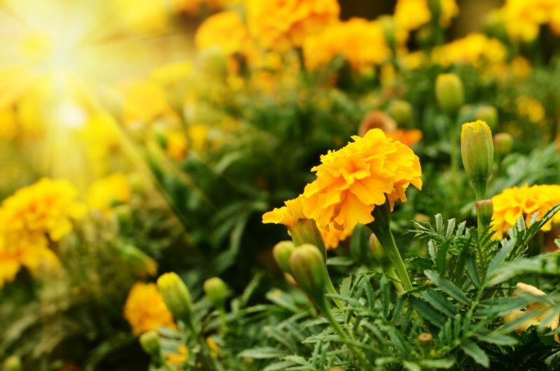Когда по лунному календарю сеять бархатцы для раннего цветения