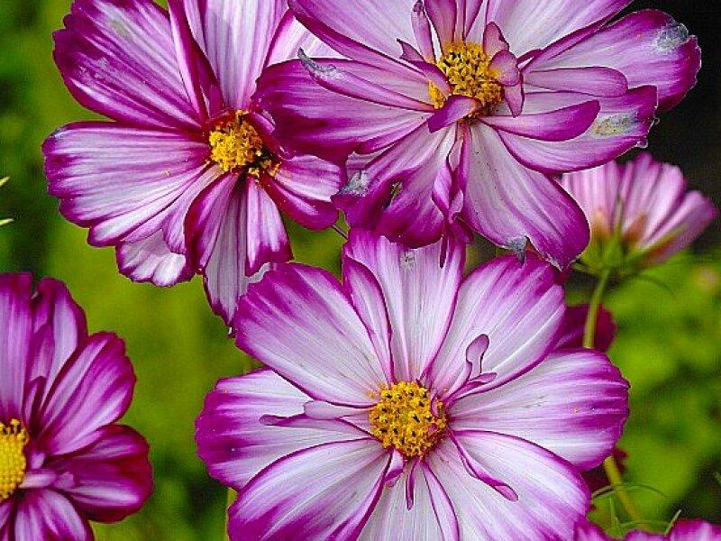 Космический садовый цветок космея