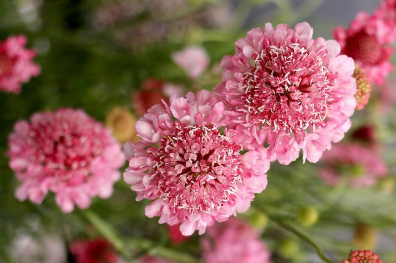 Красивый цветок, отличный медонос