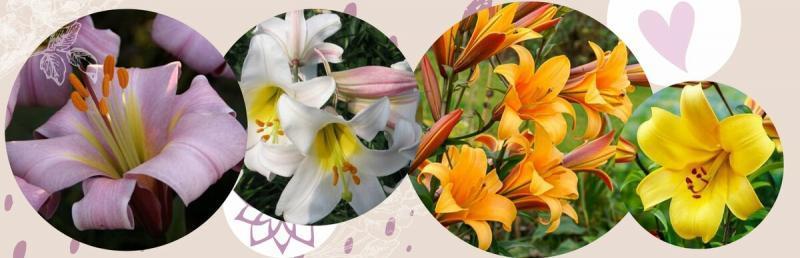 Лилия - королевский цветок: крутые серии и новинки для любителей