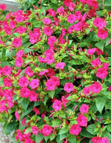 Любимец цветоводов