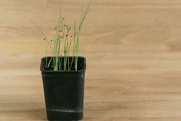 Лук-репка из семян