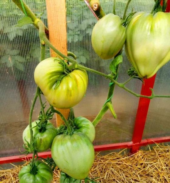 Мой любимый сердцевидный томат с непереводимым названием...