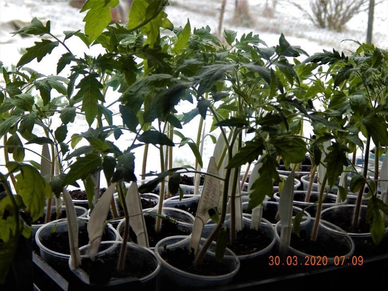 Моя рассада томатов в конце марта: проблемы и решения.