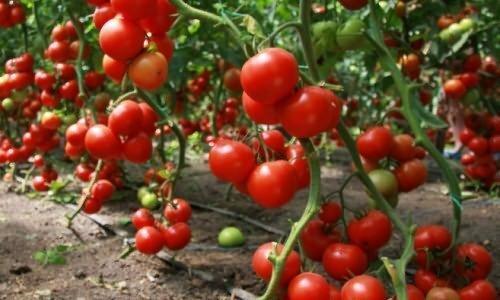 Пасынкуем помидоры