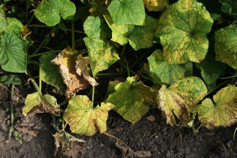 Подкормка от пожелтения листьев огурцов, есть в каждом доме