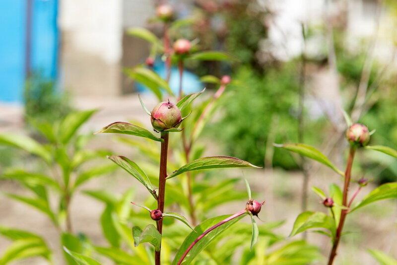 Правила весенней подкормки пионов для пышного цветения