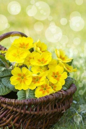 Примулы - ключи от Рая и вестники весны
