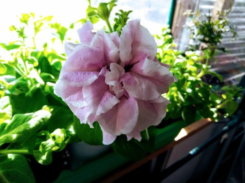 Расцвел первый цветок махровой петунии