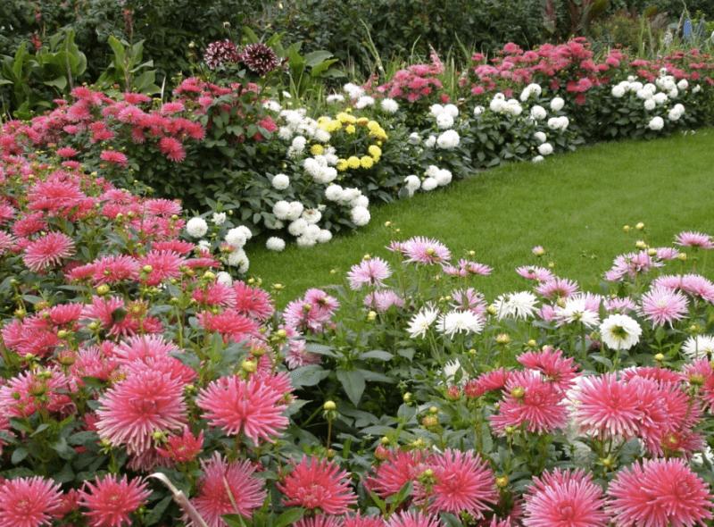 Роскошная георгина - герцогиня сада - выращивание из семян