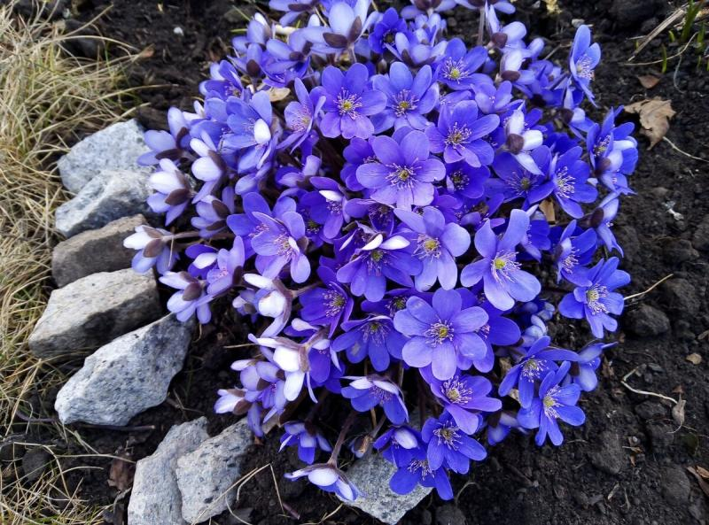Самый ранний и самый красивый первоцвет в моем саду