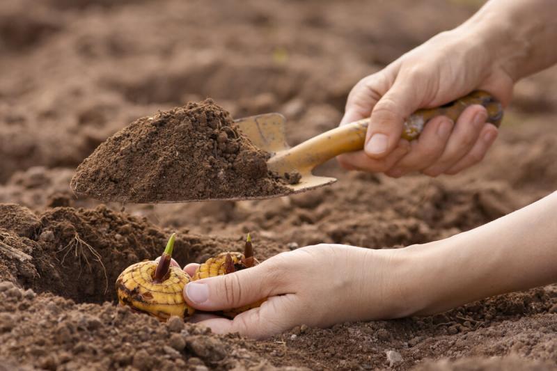 Секреты правильной посадки гладиолусов весной