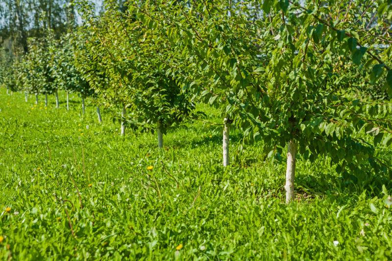 Сорт яблони Синап и его разновидности: высокий урожай