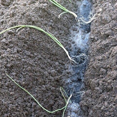 Тонкости высадки рассады лука в грунт.