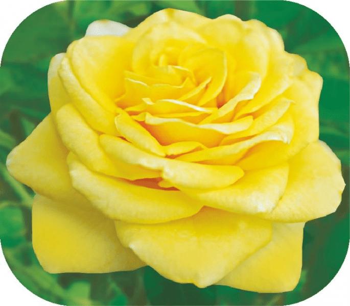 Топ-10 роз с невероятным ароматом для 2020 года