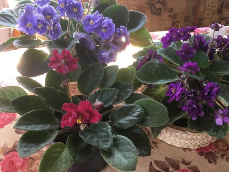 Три весенних правила выращивания сенполий