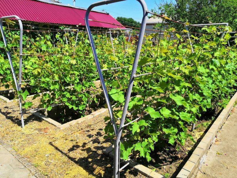 Зола - незаменимое удобрение для винограда!