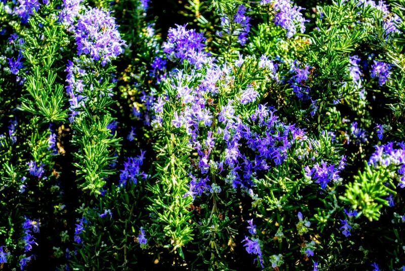 6 правил выращивания розмарина в саду и в квартире