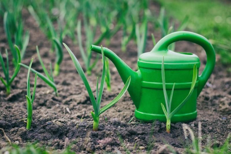 Чеснок — что нужно сделать в конце мая для хорошего урожая