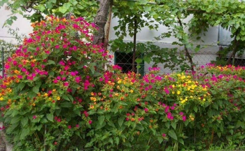Цветок ночная красавица (мирабилис): посадка и уход