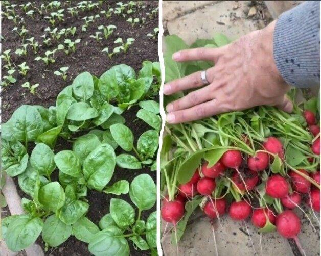 Огород у Пугачёвой: гордость Аллы - первый урожай