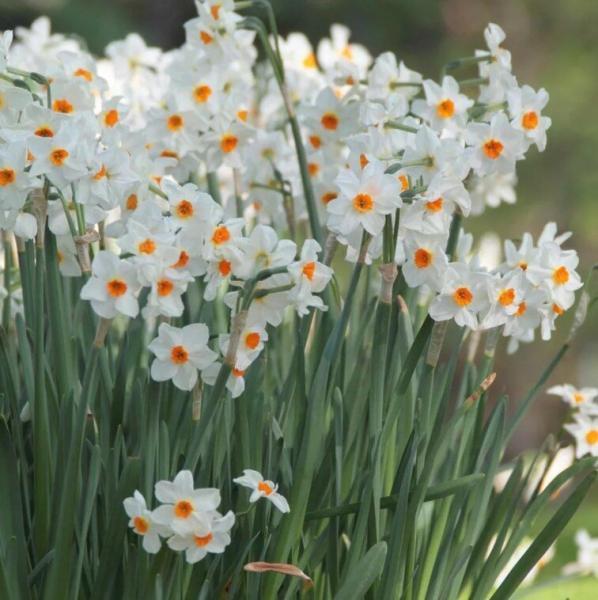 Почему не цветут нарциссы