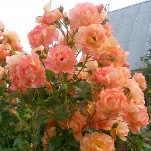 Сорта лучших зимнестойких роз
