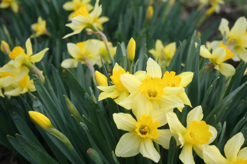 Тюльпаны, нарциссы, первоцветы в весеннем хороводе