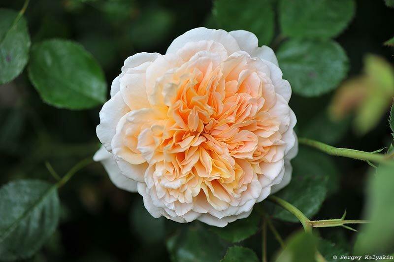 Зацвели первые розы: 6 сортов