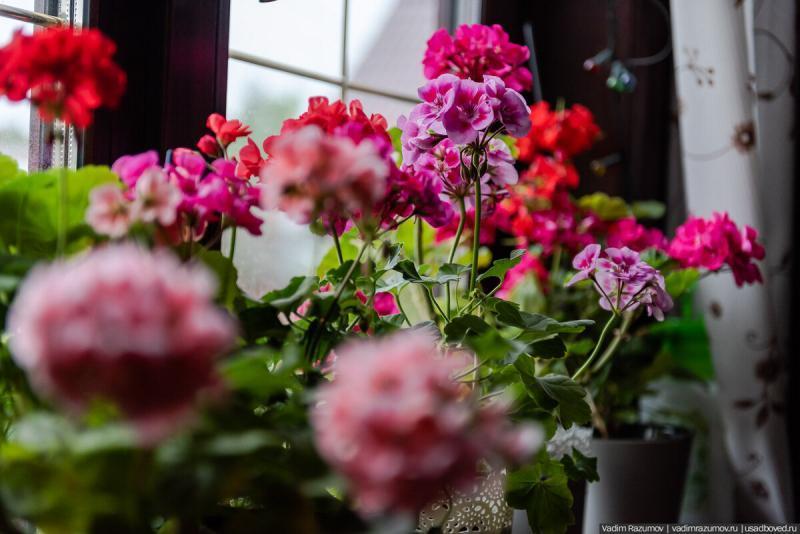Домашний сад с пеларгониями