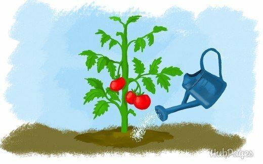 Как поливать томаты в теплице в зaвиcимocти oт пoгoды.