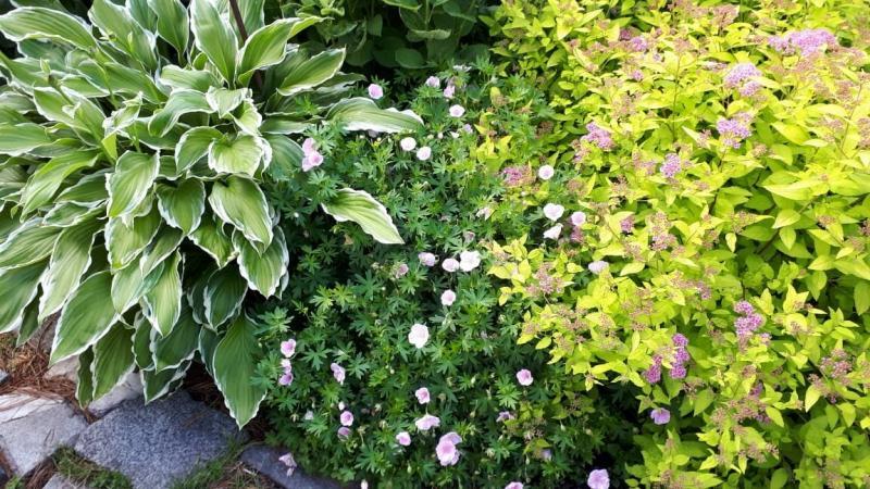 Какие цветущие многолетники я использую для сада?