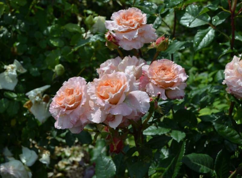 Какие плетистые розы сейчас можно купить недорого
