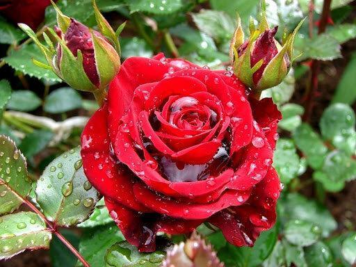 Какой полив нужен розам