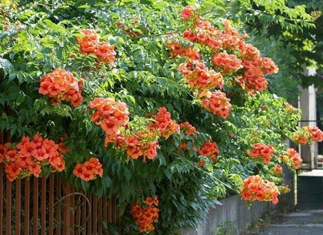 Лучшие растения для быстрого вертикального озеленения