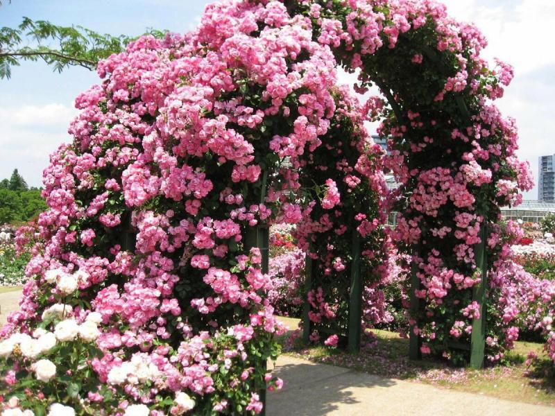 Плетистые розы. Два метода выращивания и обрезки