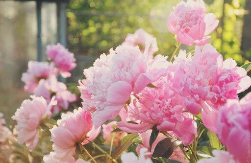 Травянистые пионы - лучший выбор для палисадников