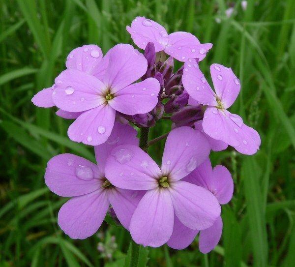 Три лучших цветка для ночного аромата в саду