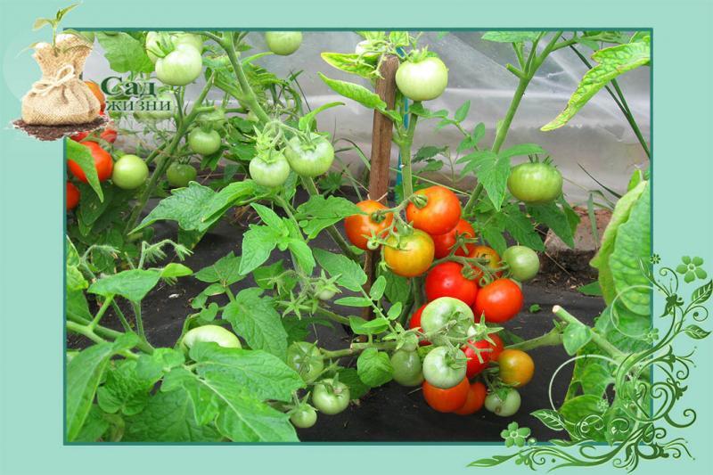"""У вас """"жируют"""" томаты? Так, это ХОРОШО - ТОМАТ должен быть """"ЖИРНЫМ"""""""