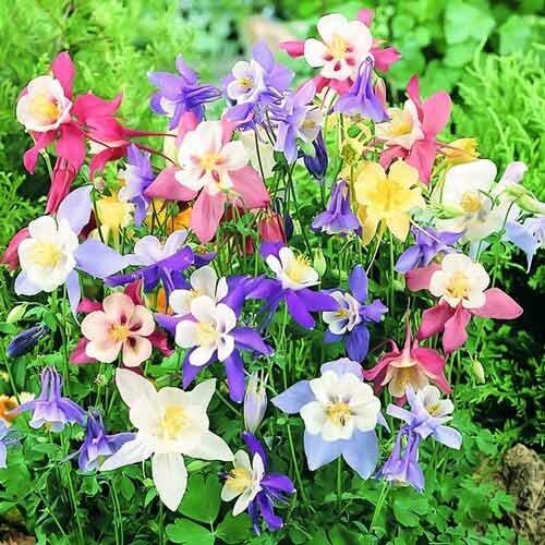 Аквилегия: цветок, который любит легкую тень