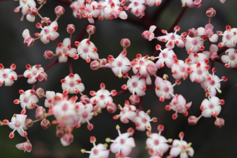 """Бузина """"Черное кружево"""" и ее розовые цветы"""